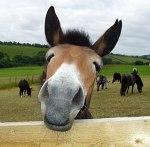 Mule SNout
